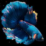 Betta Fish Live Wallpaper FREE 1.1 APK Mod